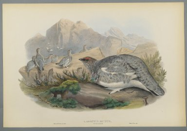 John Gould (British, 1804-1881). <em>Lagopus Mutus, Autumn Plumage: Common Ptarmigan</em>. Lithograph on wove paper, Sheet: 21 1/4 x 14 1/2 in. (54 x 36.8 cm). Brooklyn Museum, Gift of the Estate of Emily Winthrop Miles, 64.98.104 (Photo: Brooklyn Museum, 64.98.104_PS2.jpg)