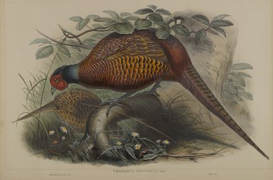 John Gould (British, 1804-1881). <em>Phasianus Colchicus: Common Pheasant</em>. Lithograph on wove paper, Sheet: 21 1/4 x 14 1/2 in. (54 x 36.8 cm). Brooklyn Museum, Gift of the Estate of Emily Winthrop Miles, 64.98.105 (Photo: Brooklyn Museum, 64.98.105_PS4.jpg)