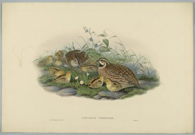 John Gould (British, 1804-1881). <em>Coturnix Communis - Common Quail and Young</em>. Lithograph on wove paper, Sheet: 21 1/4 x 14 1/2 in. (54 x 36.8 cm). Brooklyn Museum, Gift of the Estate of Emily Winthrop Miles, 64.98.106 (Photo: Brooklyn Museum, 64.98.106_PS2.jpg)