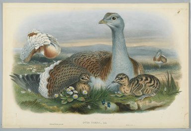 John Gould (British, 1804-1881). <em>Otis Torda - Great Bustard</em>. Lithograph on wove paper, Sheet: 21 1/4 x 14 1/2 in. (54 x 36.8 cm). Brooklyn Museum, Gift of the Estate of Emily Winthrop Miles, 64.98.107 (Photo: Brooklyn Museum, 64.98.107_PS2.jpg)