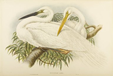 John Gould (British, 1804-1881). <em>Herodias Alba - Great White Egret or Heron</em>. Lithograph on wove paper, Sheet: 21 1/4 x 14 1/2 in. (54 x 36.8 cm). Brooklyn Museum, Gift of the Estate of Emily Winthrop Miles, 64.98.109 (Photo: Brooklyn Museum, 64.98.109_PS9.jpg)