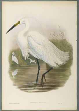 John Gould (British, 1804-1881). <em>Herodias Garzetta - Little Egret</em>. Lithograph on wove paper, Sheet: 21 1/4 x 14 1/2 in. (54 x 36.8 cm). Brooklyn Museum, Gift of the Estate of Emily Winthrop Miles, 64.98.110 (Photo: Brooklyn Museum, 64.98.110_PS2.jpg)