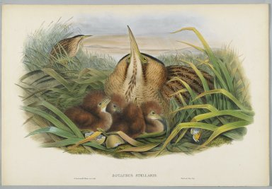 John Gould (British, 1804-1881). <em>Botaurus Stellaris - Bittern</em>. Lithograph on wove paper, Sheet: 21 1/4 x 14 1/2 in. (54 x 36.8 cm). Brooklyn Museum, Gift of the Estate of Emily Winthrop Miles, 64.98.112 (Photo: Brooklyn Museum, 64.98.112_PS2.jpg)