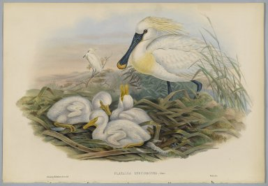 John Gould (British, 1804-1881). <em>Platalea Leucorodia - Spoonbill and Young</em>. Lithograph on wove paper, Sheet: 21 1/4 x 14 1/2 in. (54 x 36.8 cm). Brooklyn Museum, Gift of the Estate of Emily Winthrop Miles, 64.98.113 (Photo: Brooklyn Museum, 64.98.113_PS2.jpg)