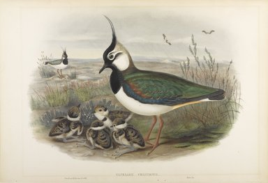 John Gould (British, 1804-1881). <em>Vanellus Christatus - Lapwing or Peewit</em>. Lithograph on wove paper, Sheet: 21 1/4 x 14 1/2 in. (54 x 36.8 cm). Brooklyn Museum, Gift of the Estate of Emily Winthrop Miles, 64.98.114 (Photo: Brooklyn Museum, 64.98.114_PS9.jpg)