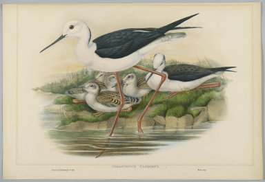 John Gould (British, 1804-1881). <em>Himantopus Candidus - Stilt or Long Legged Plover</em>. Lithograph on wove paper, Sheet: 21 1/4 x 14 1/2 in. (54 x 36.8 cm). Brooklyn Museum, Gift of the Estate of Emily Winthrop Miles, 64.98.115 (Photo: Brooklyn Museum, 64.98.115_PS2.jpg)