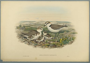 John Gould (British, 1804-1881). <em>Aegialophilus Cantianus - Kentish Plover</em>. Lithograph on wove paper, Sheet: 21 1/4 x 14 1/2 in. (54 x 36.8 cm). Brooklyn Museum, Gift of the Estate of Emily Winthrop Miles, 64.98.116 (Photo: Brooklyn Museum, 64.98.116_PS2.jpg)