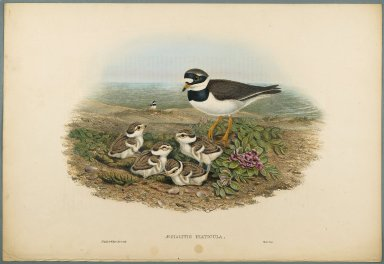 John Gould (British, 1804-1881). <em>Aegialitis Hiaticula - Ringed Plover</em>. Lithograph on wove paper, Sheet: 21 1/4 x 14 1/2 in. (54 x 36.8 cm). Brooklyn Museum, Gift of the Estate of Emily Winthrop Miles, 64.98.117 (Photo: Brooklyn Museum, 64.98.117_PS2.jpg)