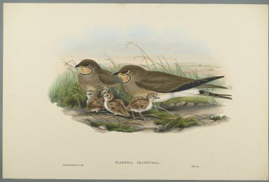 John Gould (British, 1804-1881). <em>Glareola Pratincola - Common Pratincole</em>. Lithograph on wove paper, Sheet: 21 1/4 x 14 1/2 in. (54 x 36.8 cm). Brooklyn Museum, Gift of the Estate of Emily Winthrop Miles, 64.98.118 (Photo: Brooklyn Museum, 64.98.118_PS2.jpg)