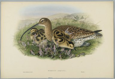 John Gould (British, 1804-1881). <em>Numenius Arquata - Curlew</em>. Lithograph on wove paper, Sheet: 21 1/4 x 14 1/2 in. (54 x 36.8 cm). Brooklyn Museum, Gift of the Estate of Emily Winthrop Miles, 64.98.119 (Photo: Brooklyn Museum, 64.98.119_PS2.jpg)