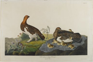 John James  Audubon (American, born Haiti, 1785-1851). <em>Willow Grous or Large Ptarmigan</em>, 1834. Aquatint, approx.: 27 x 40 in. (68.6 x 101.6 cm). Brooklyn Museum, Gift of the Estate of Emily Winthrop Miles, 64.98.11 (Photo: Brooklyn Museum, 64.98.11_PS1.jpg)