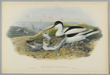 John Gould (British, 1804-1881). <em>Recurvirostra Avocetta - Avocet</em>. Lithograph on wove paper, Sheet: 21 1/4 x 14 1/2 in. (54 x 36.8 cm). Brooklyn Museum, Gift of the Estate of Emily Winthrop Miles, 64.98.120 (Photo: Brooklyn Museum, 64.98.120_PS2.jpg)