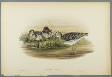 John Gould (British, 1804-1881). <em>Totanus Glareola - Wood Sandpiper</em>. Lithograph on wove paper, Sheet: 21 1/4 x 14 1/2 in. (54 x 36.8 cm). Brooklyn Museum, Gift of the Estate of Emily Winthrop Miles, 64.98.121 (Photo: Brooklyn Museum, 64.98.121_PS2.jpg)