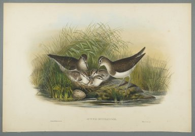 John Gould (British, 1804-1881). <em>Actitis Hypoleucos - Summer Snipe</em>. Lithograph on wove paper, Sheet: 21 1/4 x 14 1/2 in. (54 x 36.8 cm). Brooklyn Museum, Gift of the Estate of Emily Winthrop Miles, 64.98.122 (Photo: Brooklyn Museum, 64.98.122_PS2.jpg)