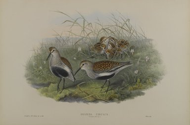 John Gould (British, 1804-1881). <em>Pelinda Cinclus, Summer Plumage - Dunlin</em>. Lithograph on wove paper, Sheet: 21 1/4 x 14 1/2 in. (54 x 36.8 cm). Brooklyn Museum, Gift of the Estate of Emily Winthrop Miles, 64.98.123 (Photo: Brooklyn Museum, 64.98.123_PS4.jpg)