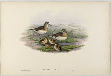 John Gould (British, 1804-1881). <em>Leimonites Temmincki - Temminck's Stint</em>. Lithograph on wove paper, Sheet: 21 1/4 x 14 1/2 in. (54 x 36.8 cm). Brooklyn Museum, Gift of the Estate of Emily Winthrop Miles, 64.98.124 (Photo: Brooklyn Museum, 64.98.124_PS9.jpg)