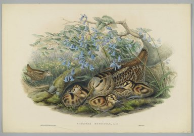John Gould (British, 1804-1881). <em>Scolopax Rusticola, Woodcock</em>. Lithograph on wove paper, Sheet: 21 1/4 x 14 1/2 in. (54 x 36.8 cm). Brooklyn Museum, Gift of the Estate of Emily Winthrop Miles, 64.98.125 (Photo: Brooklyn Museum, 64.98.125_PS2.jpg)