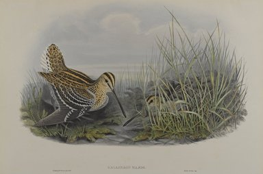 John Gould (British, 1804-1881). <em>Gallinago Major - Great Snipe</em>. Lithograph on wove paper, Sheet: 21 1/4 x 14 1/2 in. (54 x 36.8 cm). Brooklyn Museum, Gift of the Estate of Emily Winthrop Miles, 64.98.126 (Photo: Brooklyn Museum, 64.98.126_PS4.jpg)