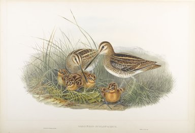 John Gould (British, 1804-1881). <em>Gallinago Scolopacina - Common Snipe</em>. Lithograph on wove paper, Sheet: 21 1/4 x 14 1/2 in. (54 x 36.8 cm). Brooklyn Museum, Gift of the Estate of Emily Winthrop Miles, 64.98.127 (Photo: Brooklyn Museum, 64.98.127_PS9.jpg)
