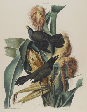 John James  Audubon (American, born Haiti, 1785-1851). <em>Purple Grackle</em>, 1827-1838. Black-ink etching, aquatint and engraving toned by hand with opaque and transparent watercolors, Sheet: 38 1/4 x 25 1/2 in. (97.2 x 64.8 cm). Brooklyn Museum, Gift of the Estate of Emily Winthrop Miles, 64.98.12 (Photo: Brooklyn Museum, 64.98.12_PS2.jpg)