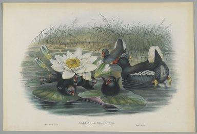 John Gould (British, 1804-1881). <em>Gallinula Choropus</em>. Lithograph on wove paper, Sheet: 21 1/4 x 14 1/2 in. (54 x 36.8 cm). Brooklyn Museum, Gift of the Estate of Emily Winthrop Miles, 64.98.130 (Photo: Brooklyn Museum, 64.98.130_PS2.jpg)