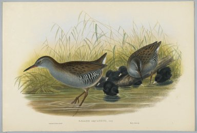 John Gould (British, 1804-1881). <em>Rallus Aquaticus - Water Rail</em>. Lithograph on wove paper, Sheet: 21 1/4 x 14 1/2 in. (54 x 36.8 cm). Brooklyn Museum, Gift of the Estate of Emily Winthrop Miles, 64.98.131 (Photo: Brooklyn Museum, 64.98.131_PS2.jpg)