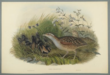 John Gould (British, 1804-1881). <em>Crex Pratensis - Land Rail or Corn Crane</em>. Lithograph on wove paper, Sheet: 21 1/4 x 14 1/2 in. (54 x 36.8 cm). Brooklyn Museum, Gift of the Estate of Emily Winthrop Miles, 64.98.132 (Photo: Brooklyn Museum, 64.98.132_PS2.jpg)