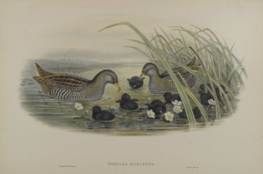 John Gould (British, 1804-1881). <em>Porzana Maruetta - Spotted Crane</em>. Lithograph on wove paper, Sheet: 21 1/4 x 14 1/2 in. (54 x 36.8 cm). Brooklyn Museum, Gift of the Estate of Emily Winthrop Miles, 64.98.133 (Photo: Brooklyn Museum, 64.98.133_PS4.jpg)