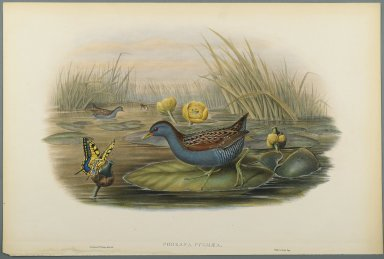 John Gould (British, 1804-1881). <em>Porzana Pygmaea (Baillon's Crake)</em>. Lithograph on wove paper, Sheet: 21 1/4 x 14 1/2 in. (54 x 36.8 cm). Brooklyn Museum, Gift of the Estate of Emily Winthrop Miles, 64.98.134 (Photo: Brooklyn Museum, 64.98.134_PS2.jpg)