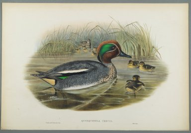 John Gould (British, 1804-1881). <em>Querquedula Crecca: Teal</em>. Lithograph on wove paper, Sheet: 21 1/4 x 14 1/2 in. (54 x 36.8 cm). Brooklyn Museum, Gift of the Estate of Emily Winthrop Miles, 64.98.137 (Photo: Brooklyn Museum, 64.98.137_PS2.jpg)