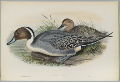 John Gould (British, 1804-1881). <em>Dafila Avuta: Ducks</em>. Lithograph on wove paper, Sheet: 21 1/4 x 14 1/2 in. (54 x 36.8 cm). Brooklyn Museum, Gift of the Estate of Emily Winthrop Miles, 64.98.138 (Photo: Brooklyn Museum, 64.98.138_PS2.jpg)
