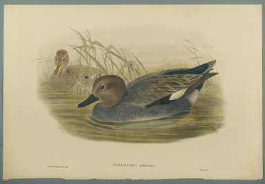 John Gould (British, 1804-1881). <em>Chaulelasmus Strepera: Gadwell Ducks</em>. Lithograph on wove paper, Sheet: 21 1/4 x 14 1/2 in. (54 x 36.8 cm). Brooklyn Museum, Gift of the Estate of Emily Winthrop Miles, 64.98.139 (Photo: Brooklyn Museum, 64.98.139_PS2.jpg)