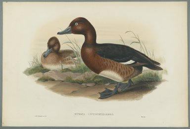 John Gould (British, 1804-1881). <em>Nyroca Leucophtalmos: White Eyes, or Ferruginous Duck</em>. Lithograph on wove paper, Sheet: 21 1/4 x 14 1/2 in. (54 x 36.8 cm). Brooklyn Museum, Gift of the Estate of Emily Winthrop Miles, 64.98.140 (Photo: Brooklyn Museum, 64.98.140_PS2.jpg)