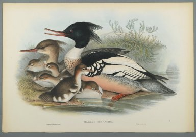 John Gould (British, 1804-1881). <em>Mergus Serrator: Merganser</em>. Lithograph on wove paper, Sheet: 21 1/4 x 14 1/2 in. (54 x 36.8 cm). Brooklyn Museum, Gift of the Estate of Emily Winthrop Miles, 64.98.141 (Photo: Brooklyn Museum, 64.98.141_PS2.jpg)
