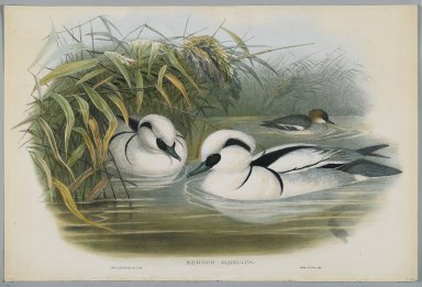 John Gould (British, 1804-1881). <em>Mergus Albellus: Smew or Nun</em>. Lithograph on wove paper, Sheet: 21 1/4 x 14 1/2 in. (54 x 36.8 cm). Brooklyn Museum, Gift of the Estate of Emily Winthrop Miles, 64.98.142 (Photo: Brooklyn Museum, 64.98.142_PS2.jpg)