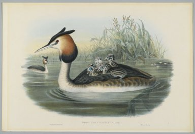 John Gould (British, 1804-1881). <em>Podiceps Cristatus</em>. Lithograph on wove paper, Sheet: 21 1/4 x 14 1/2 in. (54 x 36.8 cm). Brooklyn Museum, Gift of the Estate of Emily Winthrop Miles, 64.98.143 (Photo: Brooklyn Museum, 64.98.143_PS2.jpg)