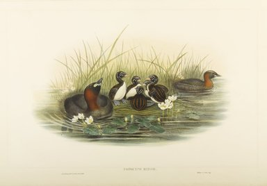John Gould (British, 1804-1881). <em>Podiceps Minor: Little Grebe or Dabchick</em>. Lithograph on wove paper, Sheet: 21 1/4 x 14 1/2 in. (54 x 36.8 cm). Brooklyn Museum, Gift of the Estate of Emily Winthrop Miles, 64.98.144 (Photo: Brooklyn Museum, 64.98.144_PS9.jpg)