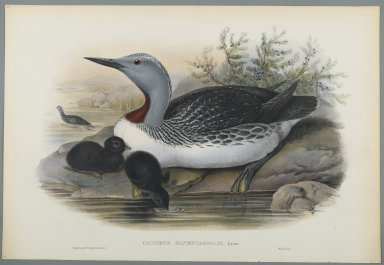 John Gould (British, 1804-1881). <em>Colymbus Septentrionalis: Red Throated Diver</em>. Lithograph on wove paper, Sheet: 21 1/4 x 14 1/2 in. (54 x 36.8 cm). Brooklyn Museum, Gift of the Estate of Emily Winthrop Miles, 64.98.145 (Photo: Brooklyn Museum, 64.98.145_PS2.jpg)