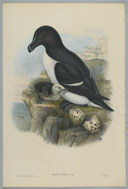 John Gould (British, 1804-1881). <em>Alca Torda: Razorbill</em>. Lithograph on wove paper, Sheet: 21 1/4 x 14 1/2 in. (54 x 36.8 cm). Brooklyn Museum, Gift of the Estate of Emily Winthrop Miles, 64.98.146 (Photo: Brooklyn Museum, 64.98.146_PS2.jpg)