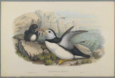 John Gould (British, 1804-1881). <em>Fratercula Artica: Puffin</em>. Lithograph on wove paper, Sheet: 21 1/4 x 14 1/2 in. (54 x 36.8 cm). Brooklyn Museum, Gift of the Estate of Emily Winthrop Miles, 64.98.147 (Photo: Brooklyn Museum, 64.98.147_PS2.jpg)
