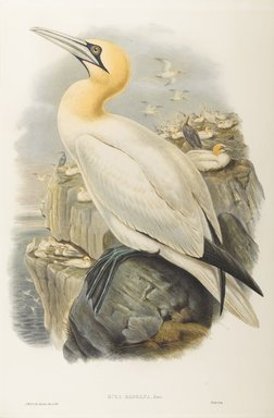 John Gould (British, 1804-1881). <em>Sula Bassana: Gannet, or Solan Goose</em>. Lithograph on wove paper, Sheet: 21 1/4 x 14 1/2 in. (54 x 36.8 cm). Brooklyn Museum, Gift of the Estate of Emily Winthrop Miles, 64.98.148 (Photo: Brooklyn Museum, 64.98.148_PS9.jpg)