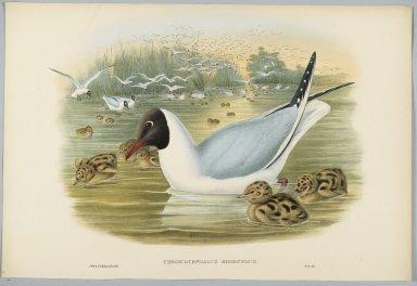 John Gould (British, 1804-1881). <em>Chroicocephalus Ridibundus: Black Headed Gull</em>. Lithograph on wove paper, Sheet: 21 1/4 x 14 1/2 in. (54 x 36.8 cm). Brooklyn Museum, Gift of the Estate of Emily Winthrop Miles, 64.98.149 (Photo: Brooklyn Museum, 64.98.149_PS2.jpg)