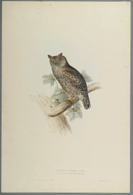 John Gould (British, 1804-1881). <em>Scops Aldrovandi - Scops Eared Owl</em>. Lithograph on wove paper, Sheet: 21 3/16 x 14 1/2 in. (53.8 x 36.8 cm). Brooklyn Museum, Gift of the Estate of Emily Winthrop Miles, 64.98.150 (Photo: Brooklyn Museum, 64.98.150_PS2.jpg)