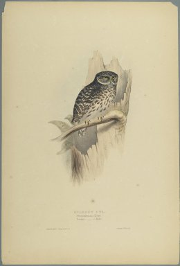 John Gould (British, 1804-1881). <em>Strix Pafsernia - Noctua</em>. Lithograph on wove paper, Sheet: 21 3/16 x 14 1/2 in. (53.8 x 36.8 cm). Brooklyn Museum, Gift of the Estate of Emily Winthrop Miles, 64.98.151 (Photo: Brooklyn Museum, 64.98.151_PS2.jpg)