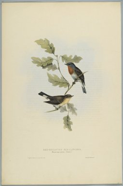 John Gould (British, 1804-1881). <em>Muscicapa Parva - Red-Breasted Fly Catcher</em>. Lithograph on wove paper, Sheet: 21 3/16 x 14 1/2 in. (53.8 x 36.8 cm). Brooklyn Museum, Gift of the Estate of Emily Winthrop Miles, 64.98.152 (Photo: Brooklyn Museum, 64.98.152_PS2.jpg)
