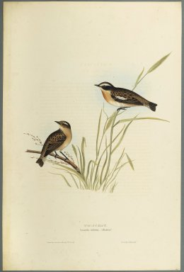 John Gould (British, 1804-1881). <em>Saxicola Rubetra - Whinchat</em>. Lithograph on wove paper, Sheet: 21 3/16 x 14 1/2 in. (53.8 x 36.8 cm). Brooklyn Museum, Gift of the Estate of Emily Winthrop Miles, 64.98.153 (Photo: Brooklyn Museum, 64.98.153_PS2.jpg)