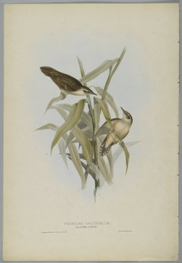 John Gould (British, 1804-1881). <em>Locustella Certhiola: Creeping Locustelle</em>. Lithograph on wove paper, Sheet: 21 3/16 x 14 1/2 in. (53.8 x 36.8 cm). Brooklyn Museum, Gift of the Estate of Emily Winthrop Miles, 64.98.154 (Photo: Brooklyn Museum, 64.98.154_PS2.jpg)