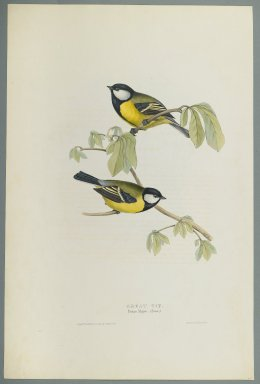 John Gould (British, 1804-1881). <em>Parus Major: Great Tit</em>. Lithograph on wove paper, Sheet: 21 3/16 x 14 1/2 in. (53.8 x 36.8 cm). Brooklyn Museum, Gift of the Estate of Emily Winthrop Miles, 64.98.155 (Photo: Brooklyn Museum, 64.98.155_PS2.jpg)
