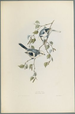 John Gould (British, 1804-1881). <em>Parus Cyanus: Azure Tit</em>. Lithograph on wove paper, Sheet: 21 3/16 x 14 1/2 in. (53.8 x 36.8 cm). Brooklyn Museum, Gift of the Estate of Emily Winthrop Miles, 64.98.156 (Photo: Brooklyn Museum, 64.98.156_PS2.jpg)