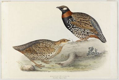 John Gould (British, 1804-1881). <em>Francolinus Vulgaris (Briss): European Francolin</em>. Lithograph on wove paper, Sheet: 21 3/16 x 14 1/2 in. (53.8 x 36.8 cm). Brooklyn Museum, Gift of the Estate of Emily Winthrop Miles, 64.98.157 (Photo: Brooklyn Museum, 64.98.157_PS9.jpg)